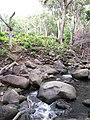 Starr-120229-2826-Musa x paradisiaca-Iholena near river-Waikapu Valley-Maui (24505470434).jpg