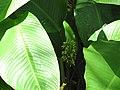 Starr-120522-6501-Calathea cylindrica-leaves and flower-Iao Tropical Gardens of Maui-Maui (24516966793).jpg