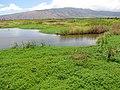Starr-130617-5116-Bacopa monnieri-habit-Kealia Pond NWR-Maui (25119191111).jpg