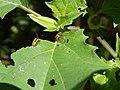 Starr-141025-2500-Datura stramonium-leaves chewed with 3 lined potato beetle adults-Kawela Bridge-Molokai (25129556412).jpg