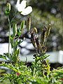 Starr-170224-0922-Argemone glauca-flower and seed capsules-Hawea Pl Olinda-Maui (32998466350).jpg