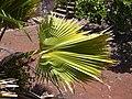 Starr 030523-0057 Pritchardia glabrata.jpg