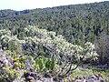 Starr 040214-0120 Sophora chrysophylla.jpg