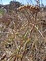 Starr 040723-0122 Achillea millefolium.jpg
