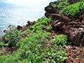 Starr 060406-7255 Chenopodium murale.jpg