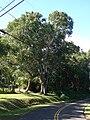 Starr 061128-1656 Syzygium cumini.jpg