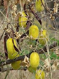 C. dipsaceus, igelkottsgurka