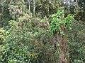 Starr 070321-6098 Ipomoea alba.jpg