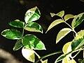 Starr 080103-1173 Pandorea jasminoides.jpg