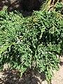 Starr 080604-6193 Juniperus bermudiana.jpg