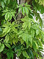 Starr 080610-8101 Syngonium podophyllum.jpg
