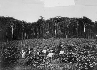 Land clearing in Australia - Coffee plantations in Queensland ca. 1900 contributed to loss of native forest