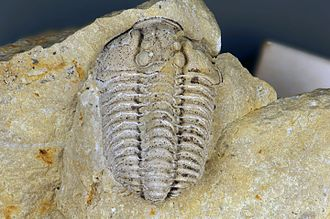 Dolostone - Trilobite fossil preserved as an internal mold in Silurian dolostone from southwestern Ohio, USA