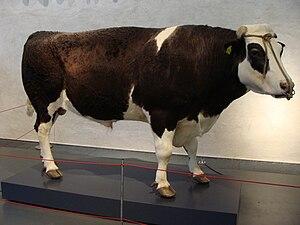 Herman the Bull - Herman the Bull on display in Naturalis Biodiversity Center