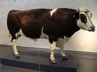 Genetically modified animal - Herman the Bull on display in Naturalis Biodiversity Center