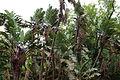 Strelitzia nicolai-IMG 8744.JPG