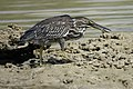Striated Heron (46991957684).jpg