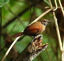 Stripe-breasted Spinetail (Synallaxis cinnamomea).jpg