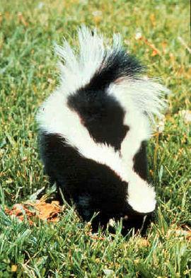 Gestreepte skunk (Mephitis mephitis)