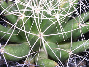 Cactus - Stem of Mammillaria longimamma, showing tubercles