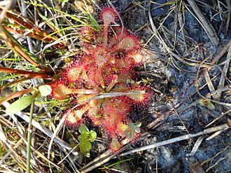 Croatan National Forest - Sundew in Croatan Nation Forest