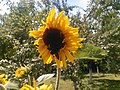 Sunflowers-Сунцокрети 02.jpg