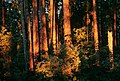 Sunset in Forest, Rogue River-Siskiyou National Forest (36714162010).jpg