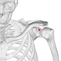 Supraglenoid tubercle of left scapula03.png