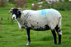 a Swaledale sheep at Malham Cove, Yorkshire.