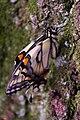 Swallowtail IMGP6268 2.jpg