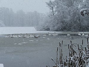 English: Swans in the snow