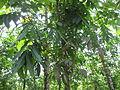 Swietenia macrophylla - മഹാഗണി 03.JPG