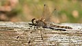 Sympetrum vulgatum female.jpg