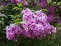 Syringa chinensis Saugeana 2016-05-17 0111.jpg