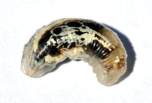 Insect morphology - Larva of Syrphid fly, member of Cyclorrhapha, without epicranium, almost without sclerotisation apart from its jaws.