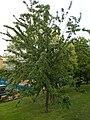 Taban Park Botanical nature trail. Wild cherry (Cerasus avium). - Budapest.JPG