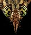 Tabanidae, U, Eyes 1, MD, Bowie 2013-06-26-17.37.52 ZS PMax (9145273393).jpg