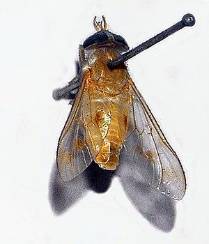 Dichelacera - Dichelacera alcicornis