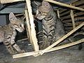 Tabby kittens india.JPG