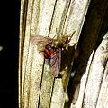 Tachinid Fly. Adejeania sp.^ ( or Hystricia abrupta^ ) - Flickr - gailhampshire.jpg
