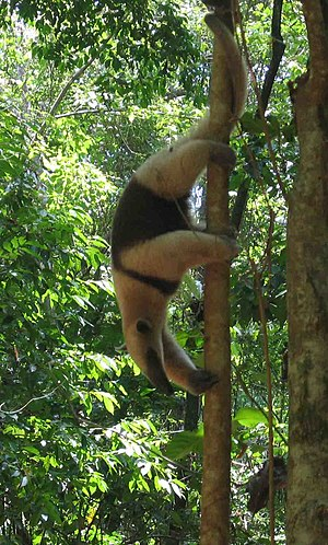 Prehensile tail - A northern tamandua (Tamandua mexicana) making use of its prehensile tail