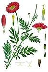 Tanacetum coccineum - Köhler–s Medizinal-Pflanzen-035.jpg