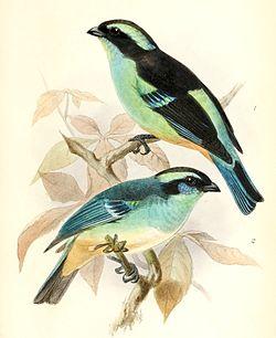 Tangara cyanotis melanotis & Tangara cyanotis cyanotis 1876.jpg