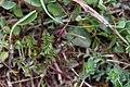 Taraxacum erythrospermum Hérault 2.jpg