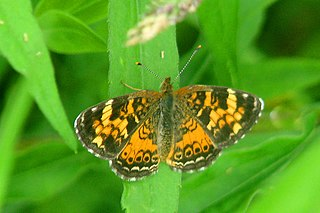 <i>Phyciodes batesii</i> species of insect