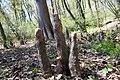 Taxodium distichum 81zz.jpg