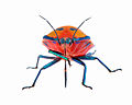 Tectocoris diophthalmus (Thunberg) (Hemiptera- Scutelleridae) - hibiscus harlequin bug (adult female).jpg