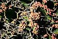 Teguise Guatiza - Jardin - Euphorbia grandicornis 05 ies.jpg