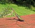 Tenodera sinensis (Chinese praying mantis) (Newark, Ohio, USA) 2 (31169908200).jpg