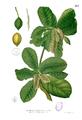 Terminalia catappa Blanco1.144.png
